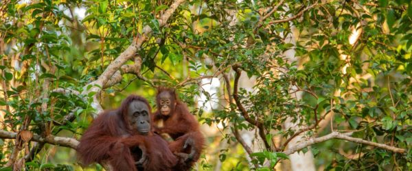 Study Orangutans in Borneo with Worldwide Navigators